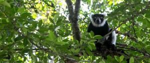Portal 180 - Los lémures y su selva amenazados por la caza furtiva en Madagascar