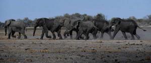 Portal 180 - Un centenar de elefantes murieron víctimas de la sequía en Botsuana
