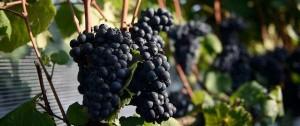 Portal 180 - El sueño vinícola que viajó de la Liguria a Progreso hace un siglo