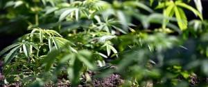 Portal 180 - Los principales puntos de la Ley de Cannabis Medicinal