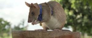Portal 180 - Una rata detectora de minas, premiada en el Reino Unido por su valor