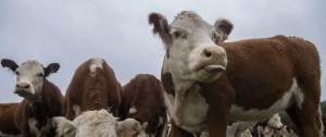 Portal 180 - La ganadería uruguaya ante el desafío de ser más eficiente y con menor efecto invernadero