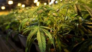 Comisión de la ONU reconoce valor medicinal del cannabis | 180
