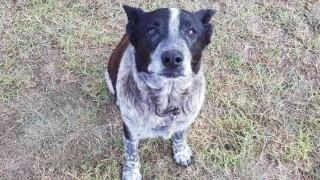 Un perro australiano recibió honores policiales por cuidar a una niña perdida | 180