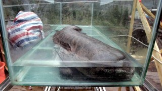 La salamandra gigante de China al borde de la extinción, según estudio | 180