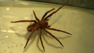 """Alarma desmedida"" por araña encontrada en Piriápolis | 180"