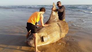 Hallaron un pez luna gigante encallado en una playa de Australia | 180