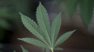 Primera exportación de marihuana medicinal uruguaya lista para despegar | 180