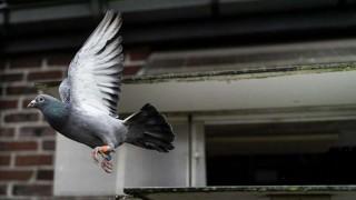 Los mechones de pelo, culpables de las palomas lisiadas | 180