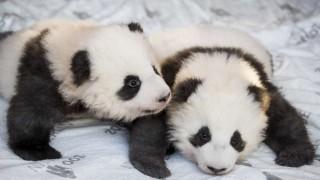 El zoológico de Berlín presentó en sociedad a dos bebés pandas gemelos | 180