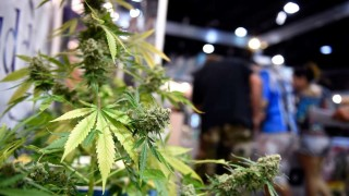 Crean Centro de Estudios Avanzados en Cannabis | 180