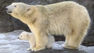 Aumenta el canibalismo entre los osos polares, dicen científicos rusos | 180