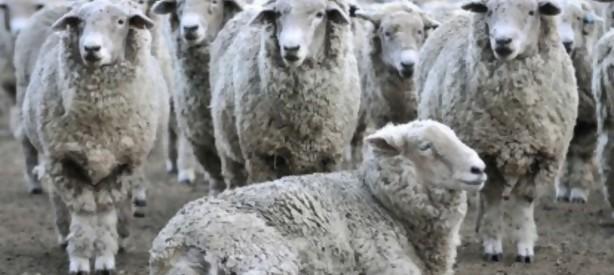 """Portal 180 - Nuevos mercados se interesan por carne ovina con hueso producida en """"compartimentos de bioseguridad"""""""