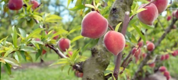 Portal 180 - Confusión sexual de insectos logró bajar hasta 90% el uso de agroquímicos en frutales