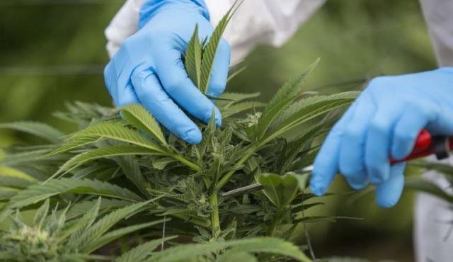 """""""No es descabellado hablar de 1.000 millones de dólares"""" por exportaciones de cannabis"""
