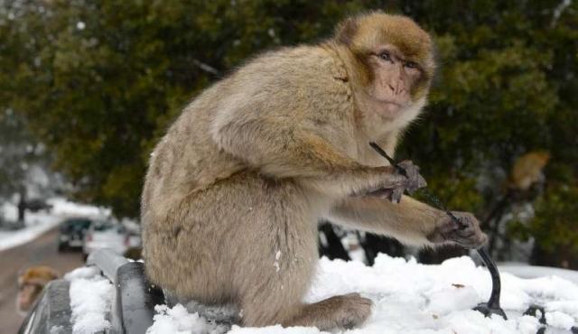 Movilización para salvar al mono de Gibraltar, especie amenazada