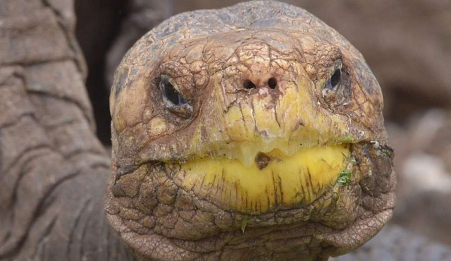 Galápagos: especie de tortuga que se creía extinta será reproducida en cautiverio