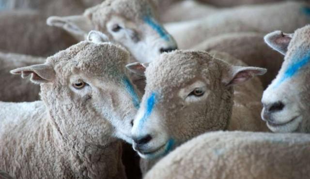 Carne ovina uruguaya busca conquistar a los milenials en Estados Unidos