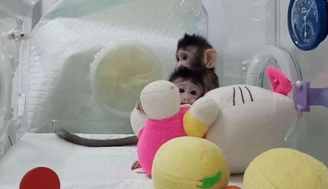 Nacieron los primeros monos clonados con la técnica de la oveja Dolly