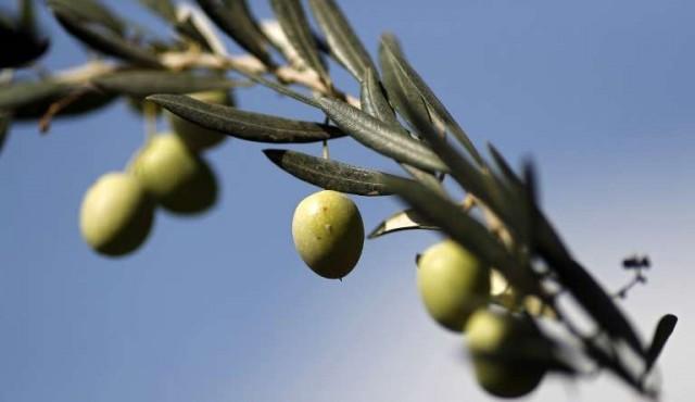 """La """"estafa"""" del aceite de oliva virgen extra y cómo detectarla"""