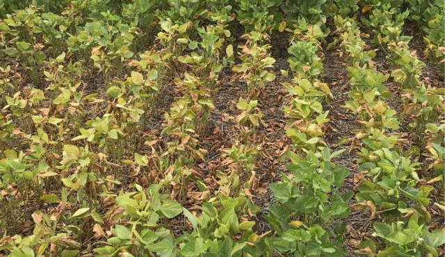 Falta de lluvia encamina a la soja a una de sus peores zafras
