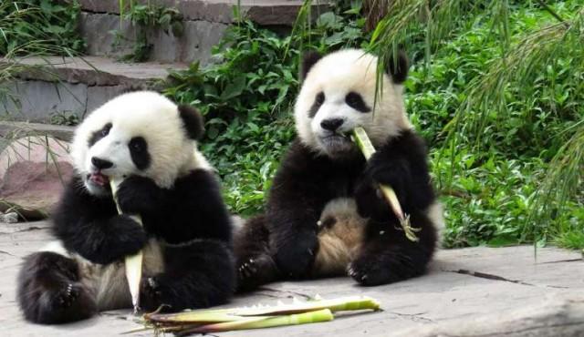 China creará parque nacional para pandas de 2,7 millones de hectáreas