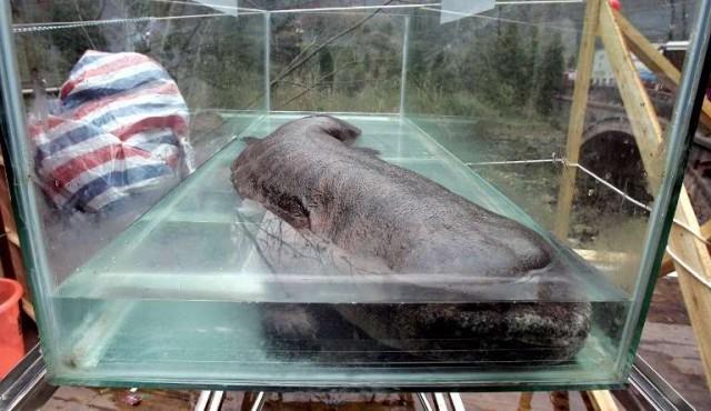 La salamandra gigante de China al borde de la extinción, según estudio