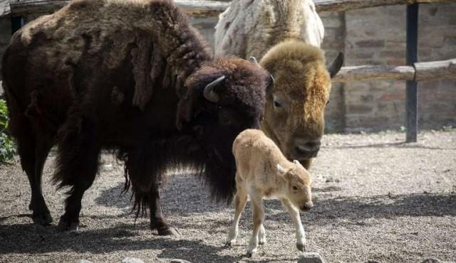 Nacimiento excepcional de una cría de bisonte americano blanco en zoo de Belgrado