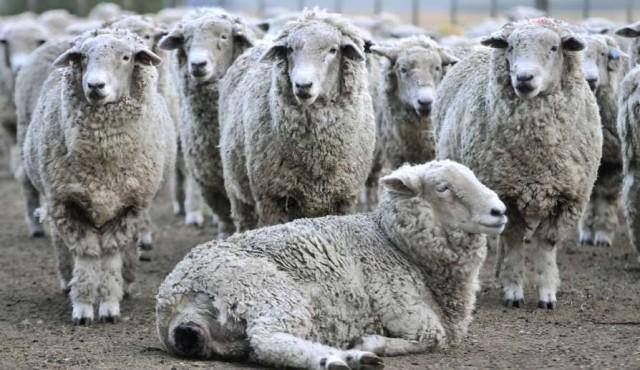 """Nuevos mercados se interesan por carne ovina con hueso producida en """"compartimentos de bioseguridad"""""""