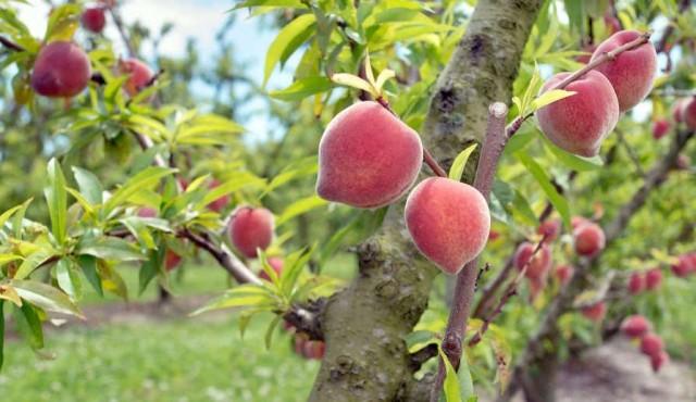 Confusión sexual de insectos logró bajar hasta 90% el uso de agroquímicos en frutales