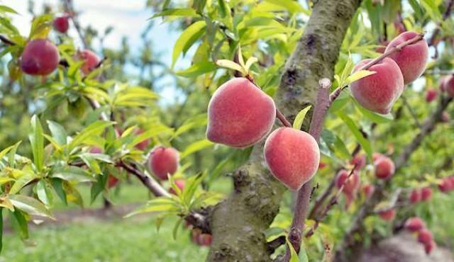La desaparición del gusano de la fruta