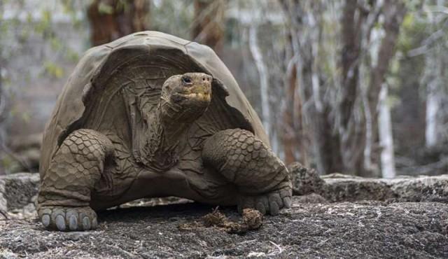 Tortugas gigantes poseen genética relacionada con la reparación del ADN