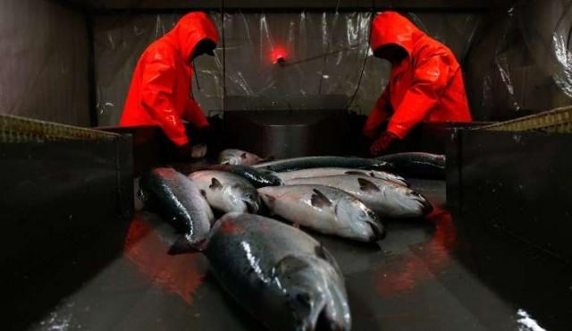 Importación de salmón creció de 36 a 700 toneladas en diez años
