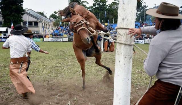 """Animalistas reclaman prohibir """"espectáculo dantesco"""" de las jineteadas"""