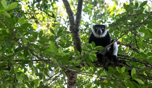 Los lémures y su selva amenazados por la caza furtiva en Madagascar