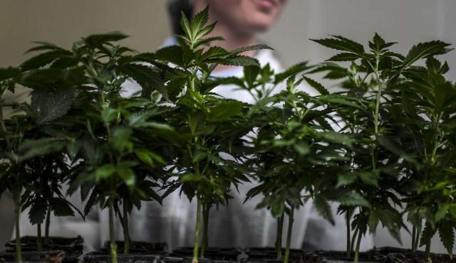 Diputados aprobó ley de acceso al cannabis medicinal