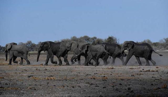 Un centenar de elefantes murieron víctimas de la sequía en Botsuana