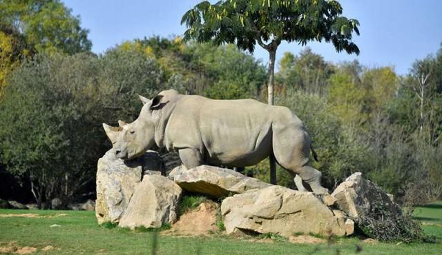 Murió a los 55 años la decana de los rinocerontes blancos en cautividad