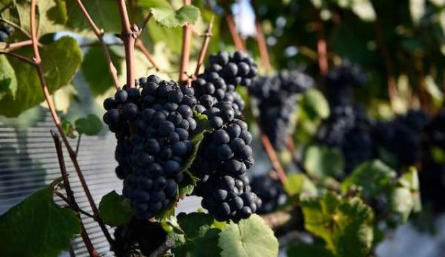 El sueño vinícola que viajó de la Liguria a Progreso hace un siglo