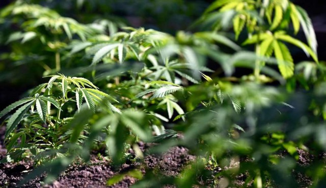 Marihuana legal: ampliar los dispensarios, descentralizar la producción y habilitar venta a turistas