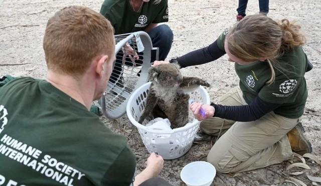 Carrera contra el tiempo para salvar los animales en isla Canguro en Australia