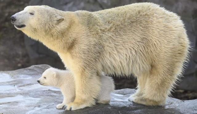 Aumenta el canibalismo entre los osos polares, dicen científicos rusos