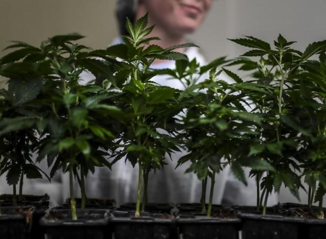 Portal 180 - Gobierno quiere impulsar el cannabis al nivel de la carne