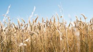 Agroecología: critican posible aprobación de trigo transgénico - Informes - DelSol 99.5 FM