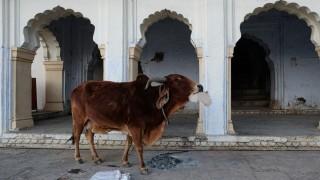 Las vacas en la India - Segmento dispositivo - DelSol 99.5 FM