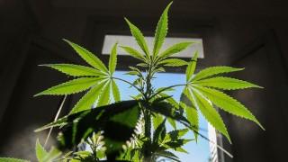 Gobierno: que el cannabis se destaque como la carne - Informes - DelSol 99.5 FM