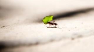 ¿Cuántas hormigas puede levantar una hormiga? - Sobremesa - DelSol 99.5 FM