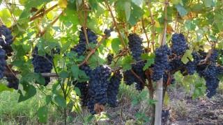 La Niña favoreció a los vinos uruguayos en 2018 - Entrevistas - DelSol 99.5 FM