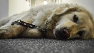 Salu, la perra guía de Florencia, se jubiló al aire - NTN Concentrado - DelSol 99.5 FM