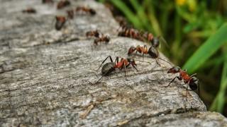 ¿De qué distancia tiene que caer una hormiga para morir? - Sobremesa - DelSol 99.5 FM